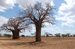 Baobab Trees-3.jpg