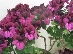plant sale geranium