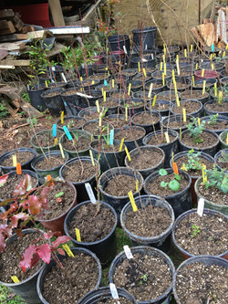 PS-Native planting at Ann Geyer's