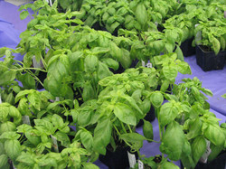 plant sale basil