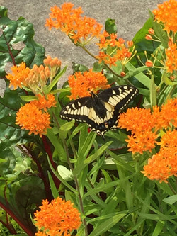 OCCCS-Milkweed attracts first butterfly