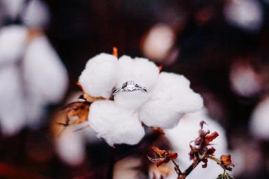 engaged couple cotton feild-13.jpg