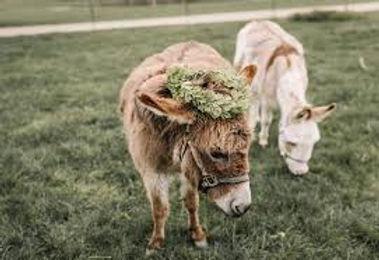 Donkey Brides.jpg