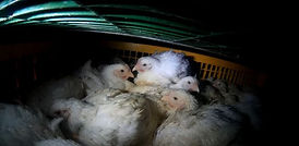 Chickens-Transport-Truck-cropped-770x377