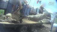 PETA-Asia-Wool-Sheep-20-770x433.png