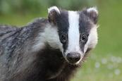 badger-4239570_1280-770x513.webp