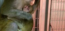 baby-monkey-Cocoa-PETA-Investigation-Lab