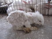 Humane-AngoraWeak-and-Scared-Baby-Rabbit