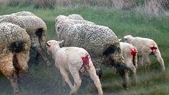wool_misc_mulesed_sheep_007-PETA-owns-77