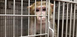 Monkey-r12001-PETA-Investigation-Laborat