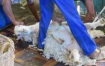 Angora-goats-3-770x483.jpg