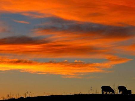 Sunset + Cows = Pure Joy!