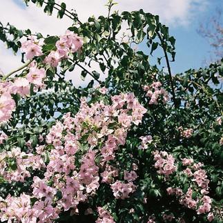 Pink bougainvillea 🌸_-_-_-_-_-_-_-_#Fil