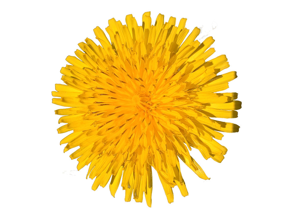 Dandelion (Taraxacum Officinale) Isolate