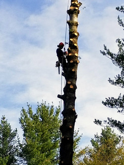 Abattage pin blanc Rawdon