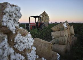 Safra de produtores associados da Amipa evolui em produção e produtividade