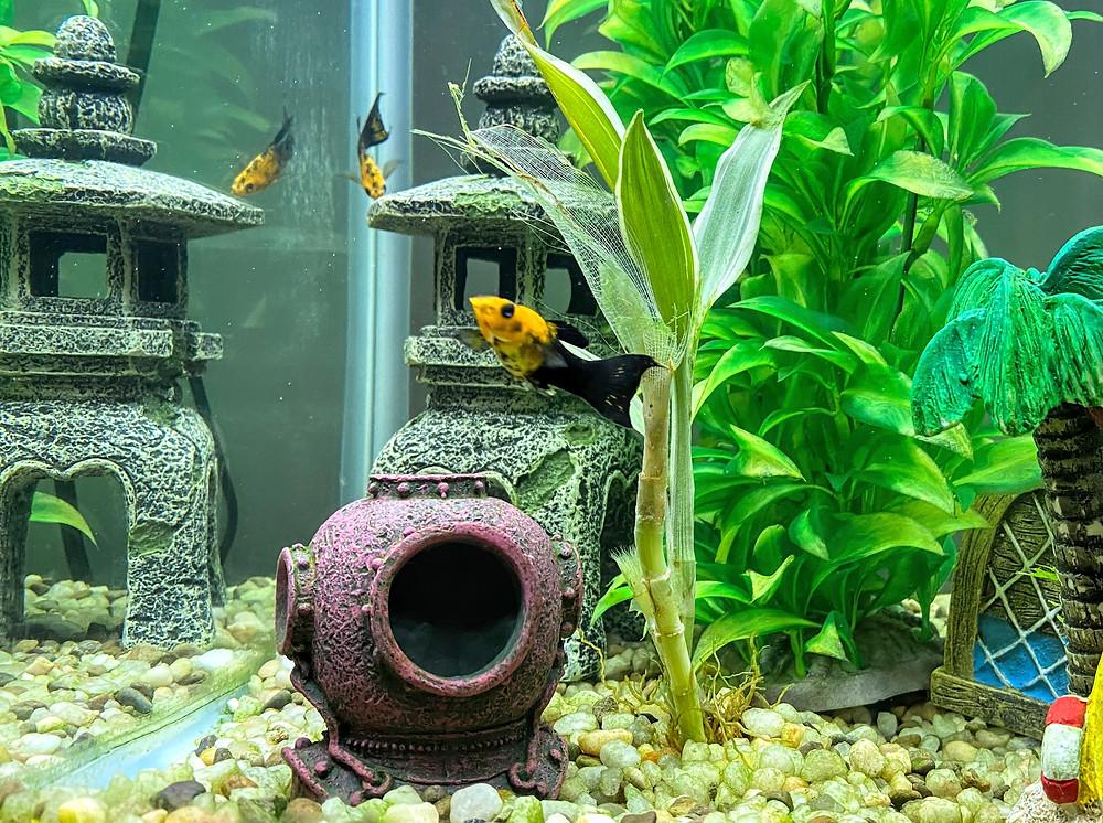 Fish pet sitting aquatic tank Coffeys2Go sitters Portola Valley California CA