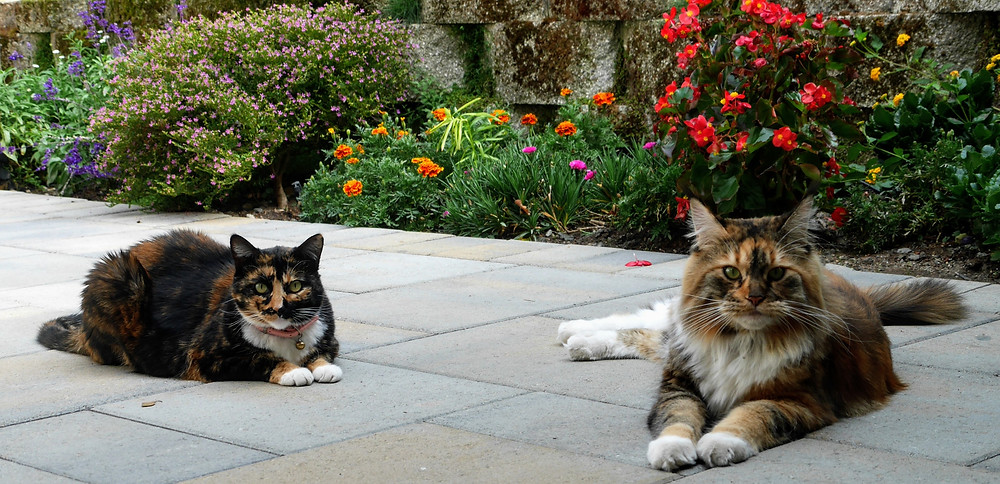 Two cats laying in garden Coffeys2Go are pet sitting them