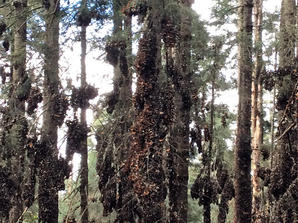 Tlalpujahua forest with monarch butterflies