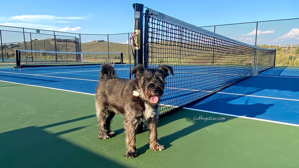 Basie the dog on the Trailside Pickleball Courts