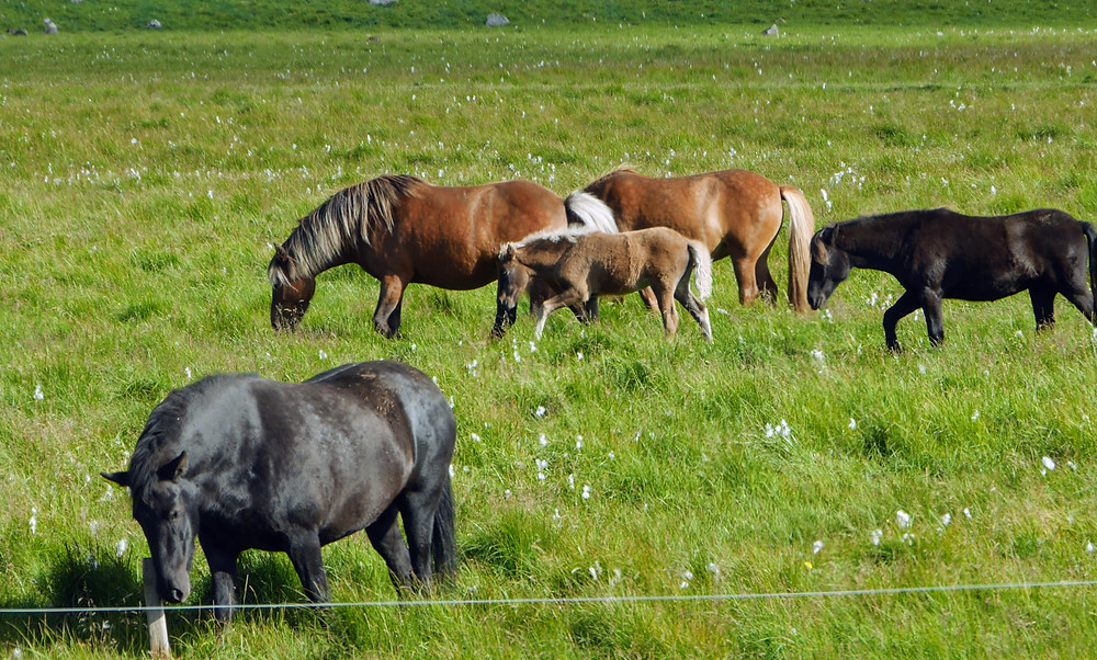 Icelandic horses pony in a field