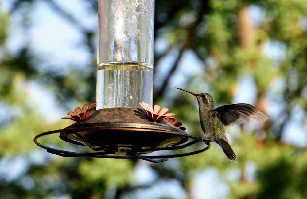 hummingbird, feeding, nature, bird, HoverHigher, Coffeys2Go