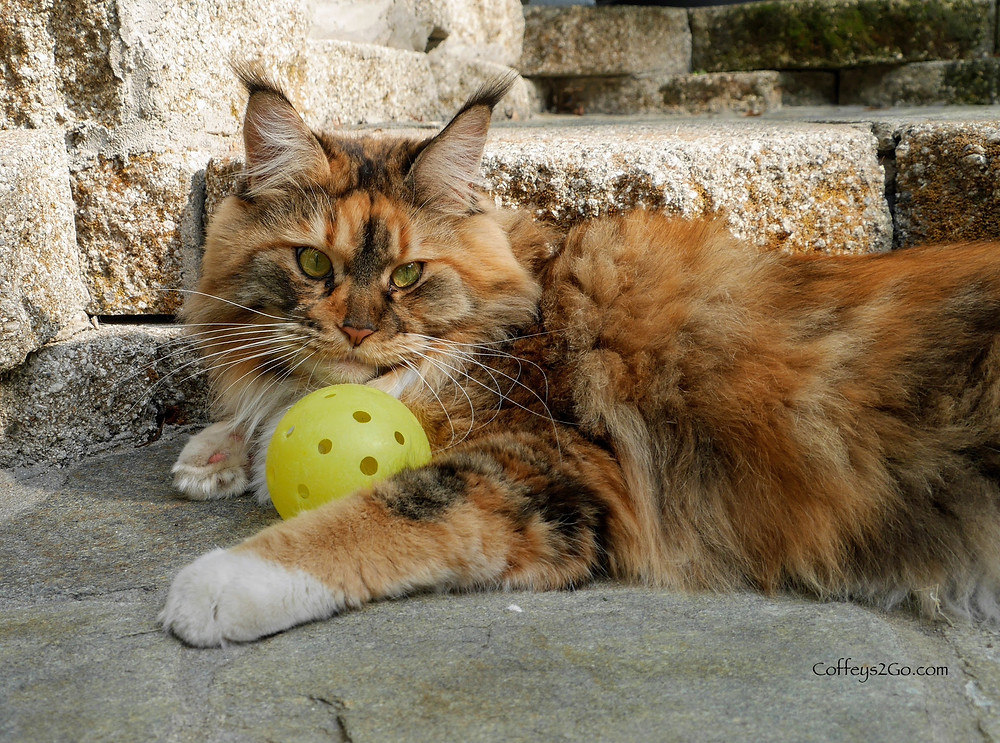 Coffeys2Go Pet Sitting Cat with pickleball