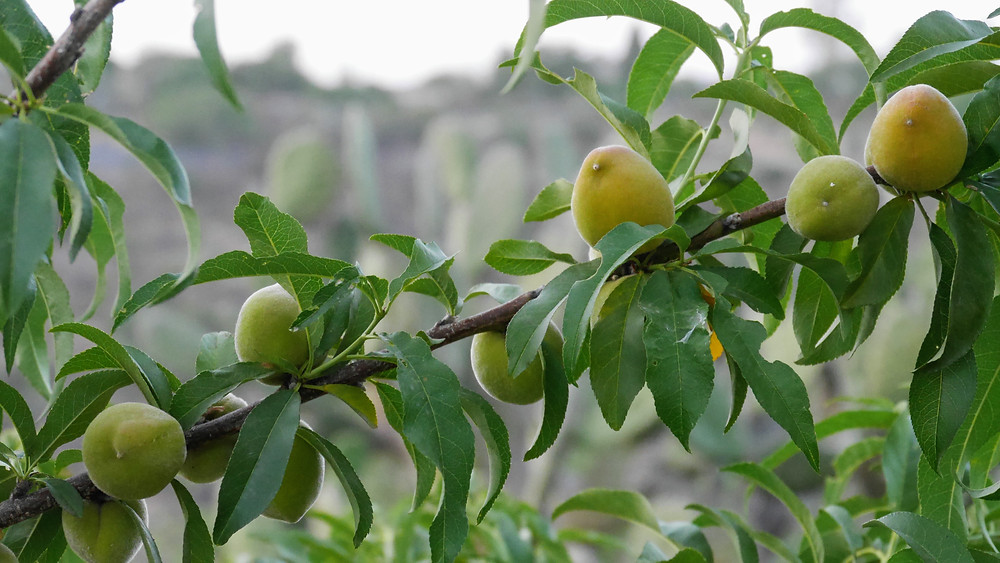 peaches, growing, tree, ripe, green, HoverHigher, Coffeys2Go