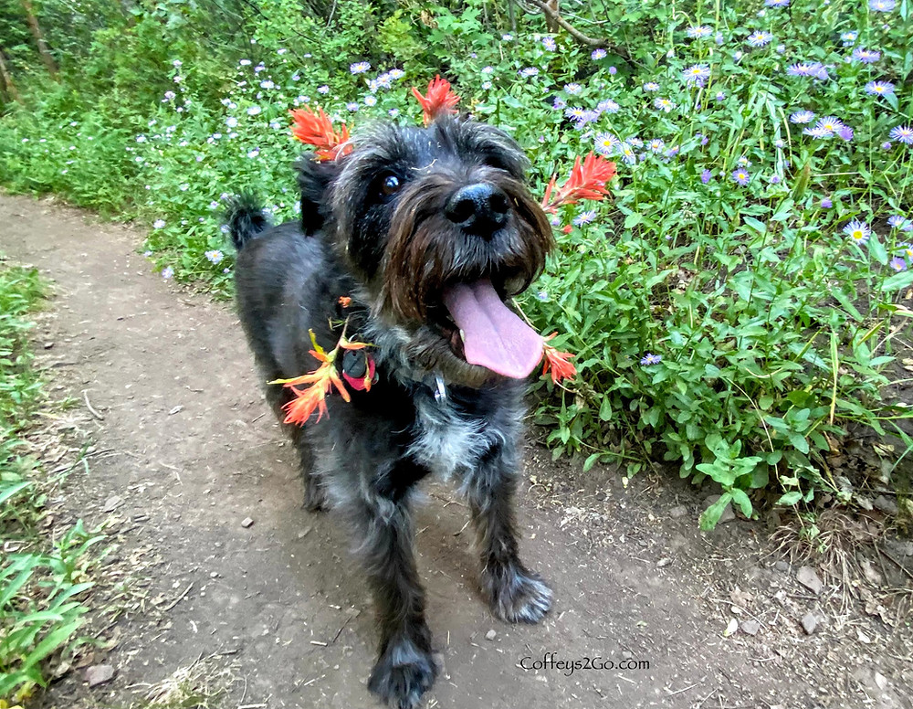 Silly dog with pink tongue and a garland halo of Indian Paint Brush flowers
