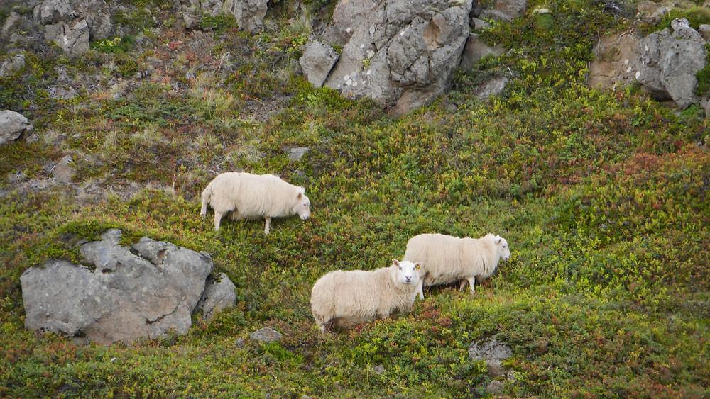 Hólmavík sheep on a hillside Iceland