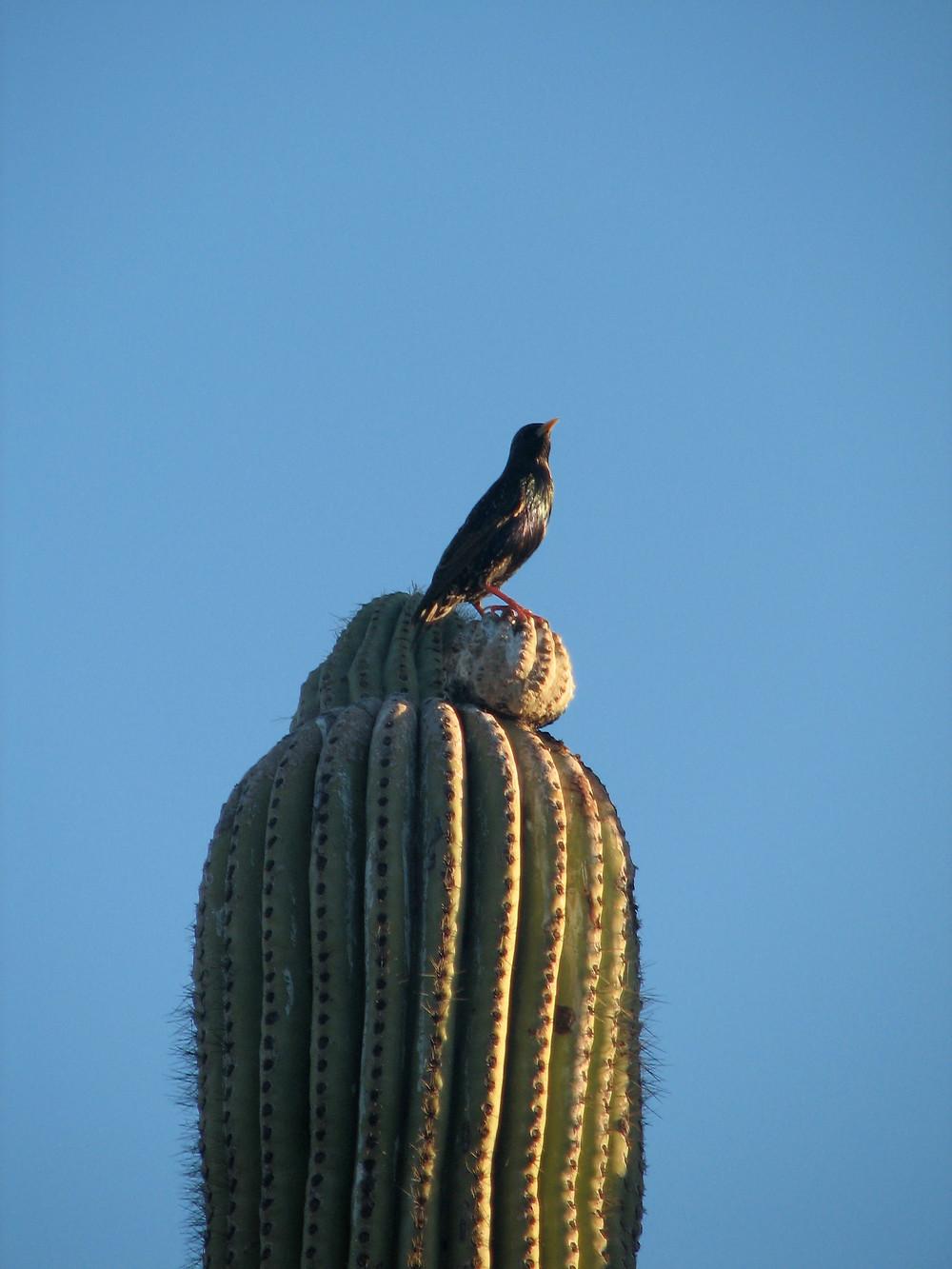 Arizona Cactus bird blue sky