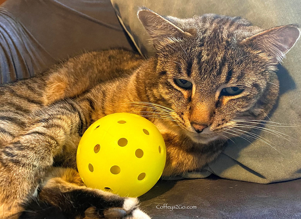 Cat with a pickleball