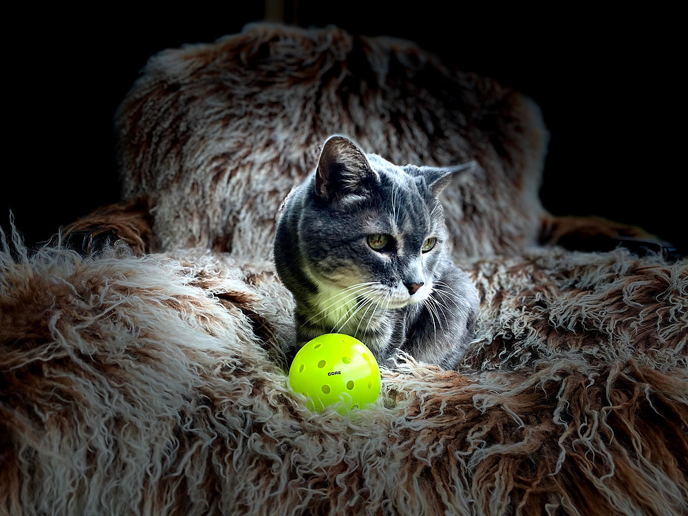 Portrait of a cat staring wistfully behind a Core Pickleball