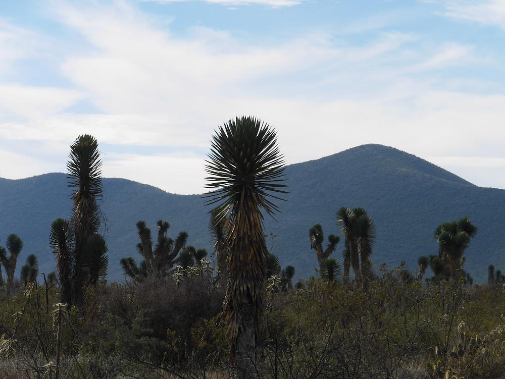 San Luis Potosi cactus scenery Mexico