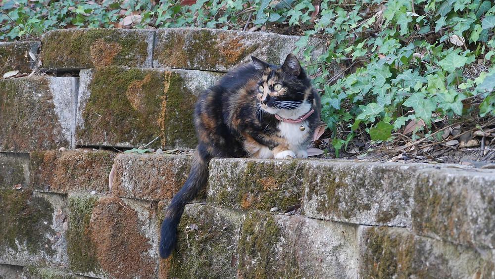 Calico cat pet house sitting Portola Valley Bonnie Coffey Coffeys2Go