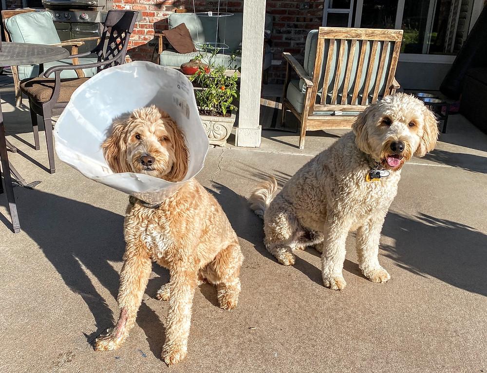Blog Dog in Cone of Shame Pet Sitting Coffeys2Go.com