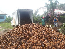 Coconut Shell Collection - KDHI Agricult