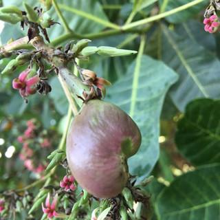 Young Cashew Flower - KDHI