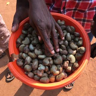Harvesting Raw Cashew Nuts - KDHI