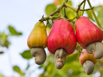 Global Demand and Agro-Processing of Cashew Nuts in Africa
