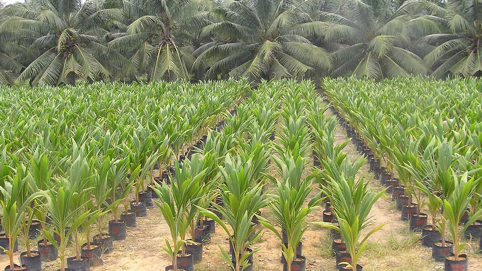 Growing Coconuts.jpg