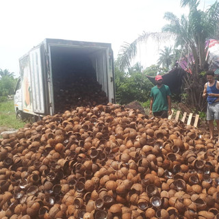 Collection of Semi-Mature Coconut Shells - KDHI