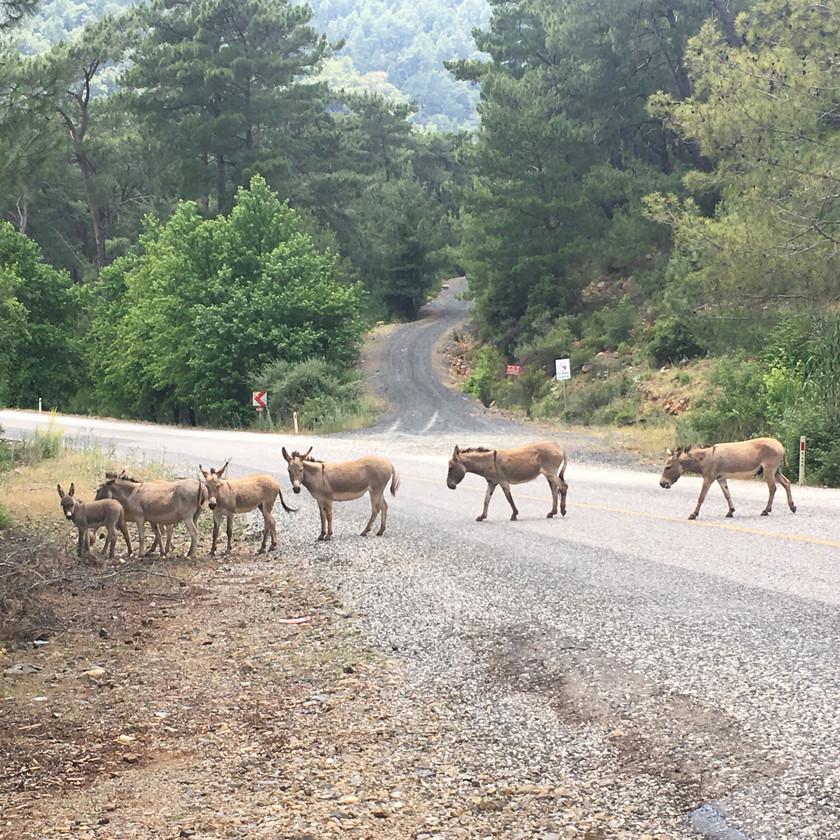 Wild Donkeys crossing