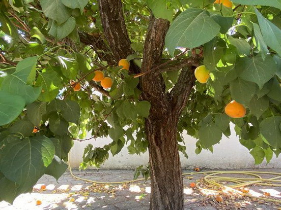 Various fruit trees