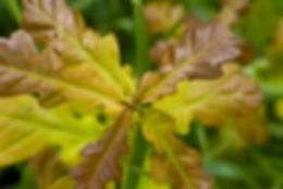 Bachblüten Tiere Oak