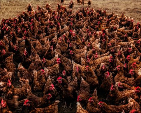 Feeding time at the egg farm-efex Edit-E