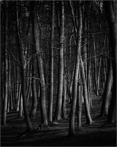 Beech Trees No 1.jpg
