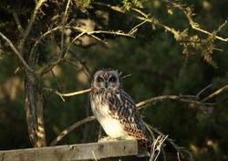 Owls se_F5R9970