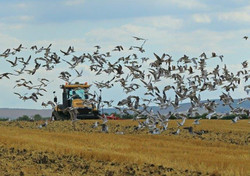 Cultivating with Seagulls_F5R3906