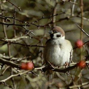 Farmland birds on the Marlborough Downs
